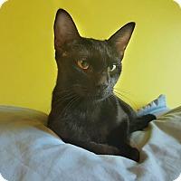 Adopt A Pet :: Daenerys - Bensalem, PA