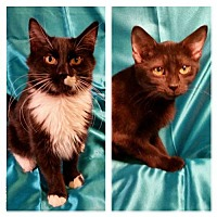 Maine Coon Kitten for adoption in Hockessin, Delaware - John and Mary