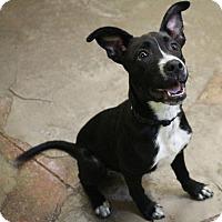 Adopt A Pet :: Sappho - New Orleans, LA