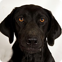 Adopt A Pet :: Nichole LabMix - St. Louis, MO