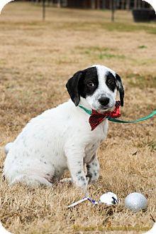 Pointer Mix Puppy for adoption in Little Rock, Arkansas - Cleveland