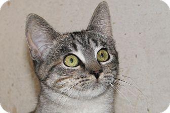Domestic Shorthair Kitten for adoption in Ruidoso, New Mexico - Gypsum