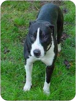 Pit Bull Terrier Mix Dog for adoption in Portland, Oregon - Max