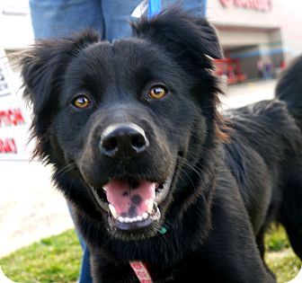 Caitlin | Adopted Puppy | Indianapolis, IN | Border Collie ...