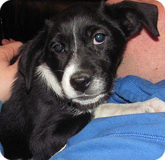 Border Collie/Labrador Retriever Mix Puppy for adoption in Lebanon, Maine - Roxanne-LOCAL