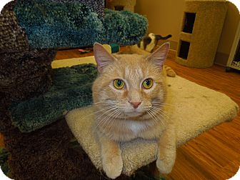 Domestic Shorthair Cat for adoption in Medina, Ohio - Carl