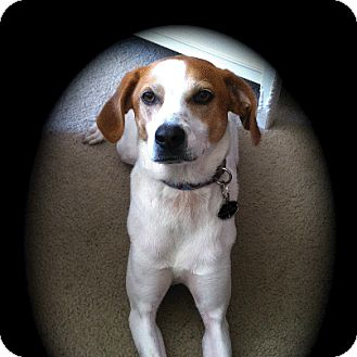 Louie | Adopted Dog | Franklinville, NJ | Foxhound/Beagle Mix
