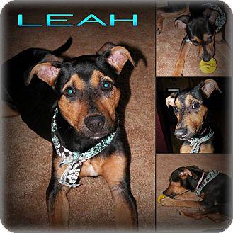 Doberman Pinscher/Rottweiler Mix Puppy for adoption in DOVER, Ohio - Leah