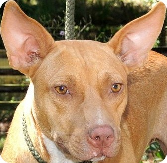 Carolina Dog/American Bulldog Mix Dog for adoption in Charlemont, Massachusetts - Gretchen-ADOPTED!