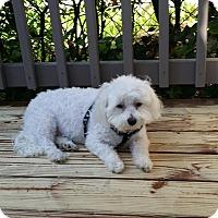 Adopt A Pet :: Stewie - Mechanicsburg, PA