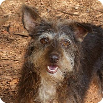 Terrier (Unknown Type, Medium) Mix Dog for adoption in Greenville, South Carolina - Tike(VIDEO)