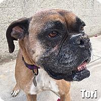 Adopt A Pet :: Tori - Encino, CA