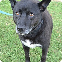Blue Heeler Mix Dog for adoption in Lebanon, Tennessee - Rosie