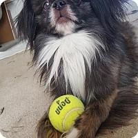 Adopt A Pet :: Rug Rat - Centreville, VA
