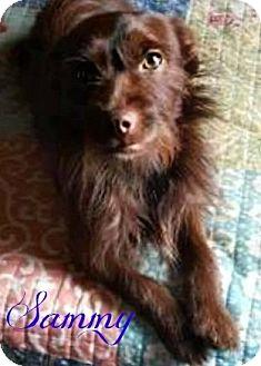 Terrier (Unknown Type, Medium) Mix Dog for adoption in Roanoke, Virginia - Sammy