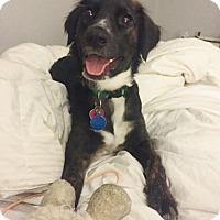Adopt A Pet :: April - Englewood, CO