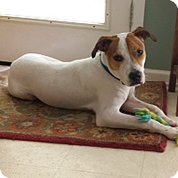 Terrier (Unknown Type, Medium)/Hound (Unknown Type) Mix Dog for adoption in PORTLAND, Maine - Sparky