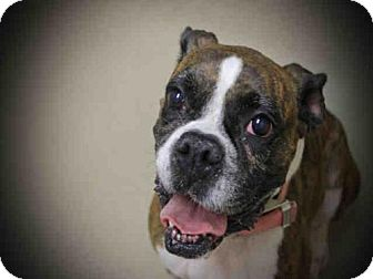 Boxer Dog for adoption in Decatur, Illinois - WHITNEY