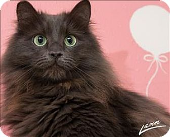 Domestic Longhair Cat for adoption in Sherwood, Oregon - Babie