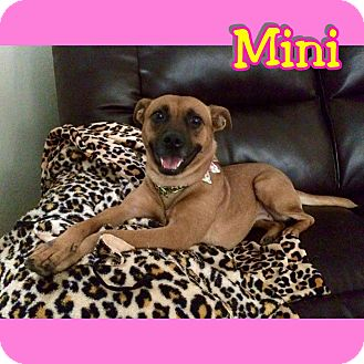 Chihuahua/German Shepherd Dog Mix Dog for adoption in Mesa, Arizona - Mini