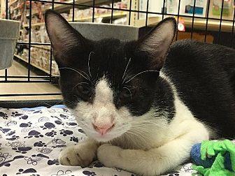 Domestic Shorthair Cat for adoption in Spring, Texas - Jareth