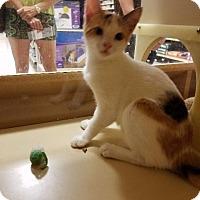 Domestic Shorthair Cat for adoption in Spring, Texas - Jasmine