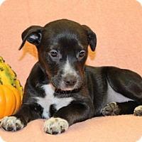 Adopt A Pet :: Cruela - Modesto, CA