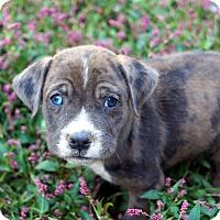 Bulldog/Labrador Retriever Mix Puppy for adoption in Newark, Delaware - Paris