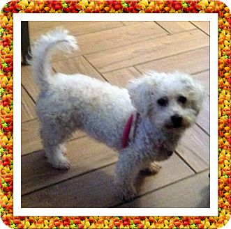 Bichon Frise Dog for adoption in Tulsa, Oklahoma - Adopted!!Sophie - KY