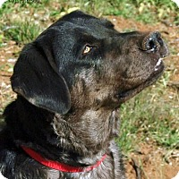 Catahoula Leopard Dog/Labrador Retriever Mix Dog for adoption in Scottsdale, Arizona - Daisy Mae