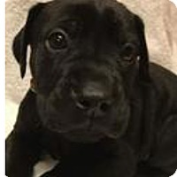 Adopt A Pet :: Noel - Patterson, NY