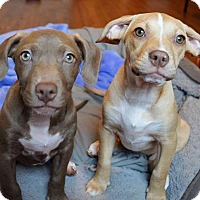 Adopt A Pet :: Sophie - Eugene, OR