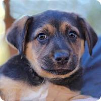 Adopt A Pet :: PUPPY PRINCESS VENUS - Washington, DC