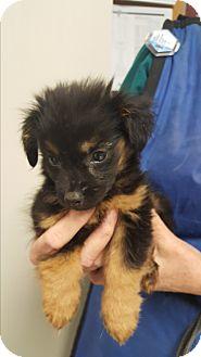 Pomeranian/Dachshund Mix Puppy for adoption in Palm Bay, Florida - Colt