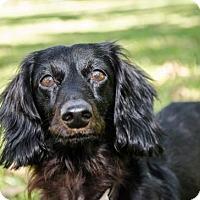 Adopt A Pet :: Benedict - Pearland, TX