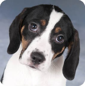 Springer Spaniel Beagle Mix