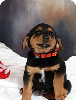 Beagle/Brittany Mix Puppy for adoption in St. Louis, Missouri - Dillon Brit-eagle