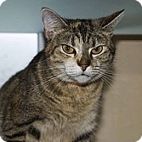 Domestic Shorthair Cat for adoption in New Port Richey, Florida - Carly