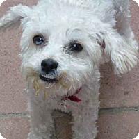 Adopt A Pet :: Nola - Los Angeles, CA