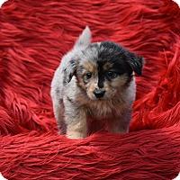 Adopt A Pet :: Renoir - Groton, MA