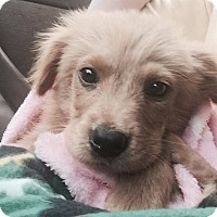 Adopt A Pet :: Lincoln - Cheshire, CT