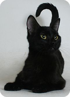 Domestic Shorthair Cat for adoption in Redding, California - Sandy