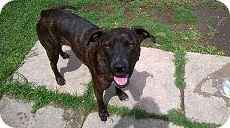 Plott Hound/American Staffordshire Terrier Mix Dog for adoption in Von Ormy, Texas - Wendy