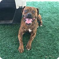 Adopt A Pet :: Fester - Chula Vista, CA