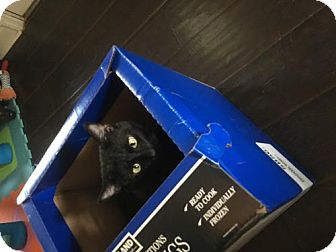 Domestic Shorthair Cat for adoption in Stone Mountain, Georgia - Slinky