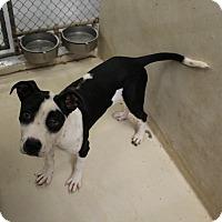 Adopt A Pet :: A13 JERSEY - Odessa, TX