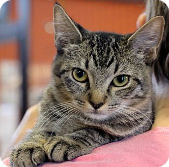 Domestic Shorthair Kitten for adoption in Sarasota, Florida - Audrie
