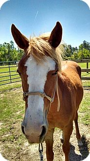 Paint/Pinto/Quarterhorse Mix for adoption in Cantonment, Florida - Scarlet