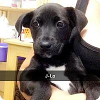 Adopt A Pet :: J-Lo - Willows, CA