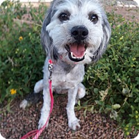 Adopt A Pet :: Whisp - Las Vegas, NV